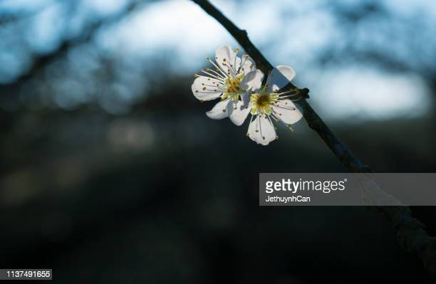 backlighted photo of plums white flowers - son la province stock pictures, royalty-free photos & images