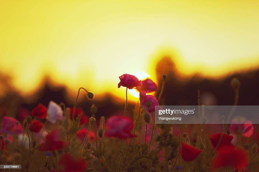 back-lighting flowers : Foto stock