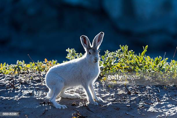 A backlit Arctic Hare warming in the weak sunlight at dawn.
