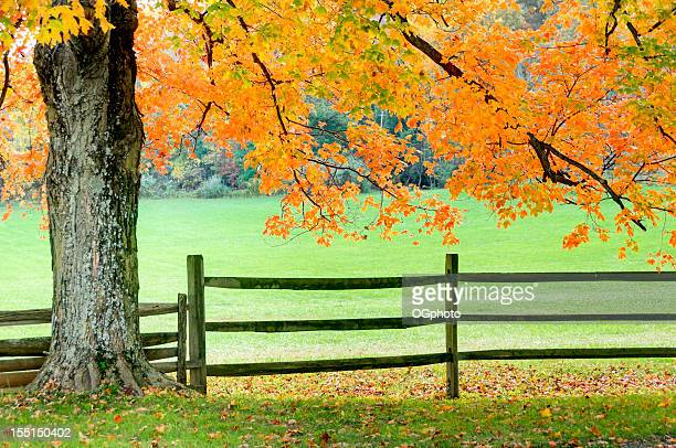 backlit autumn maple tree and fence - ogphoto stock photos and pictures