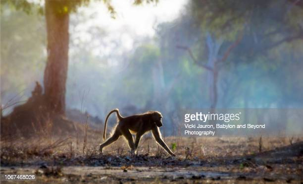 backlit baboon and blue forest of mana pools, zimbabwe - chacma baboon stock photos and pictures