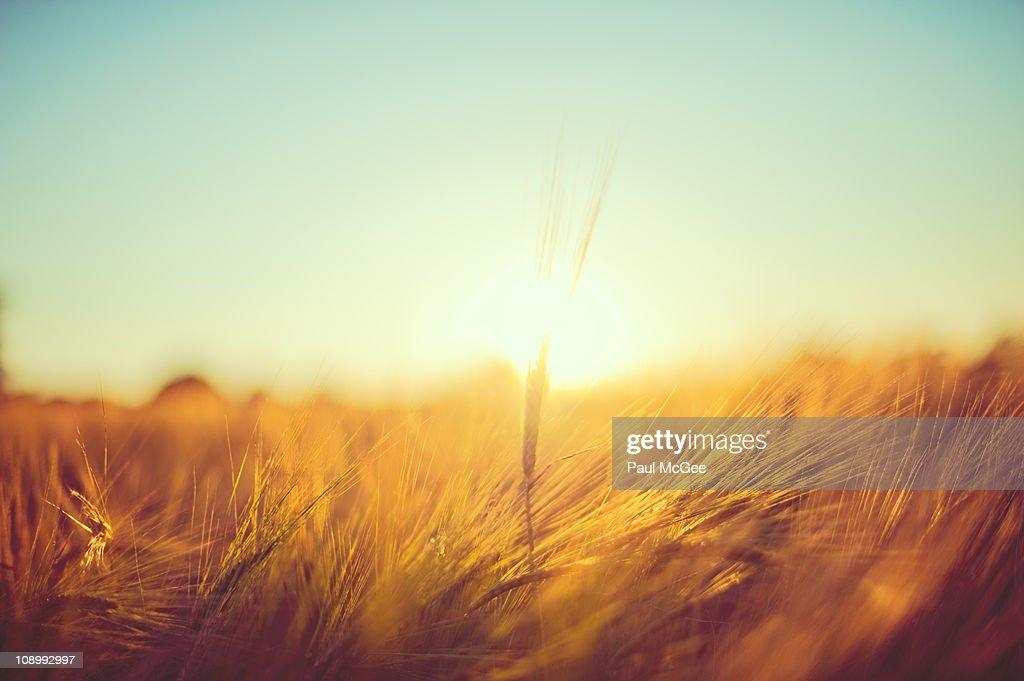 Backlit Barley Stalk : Stock Photo