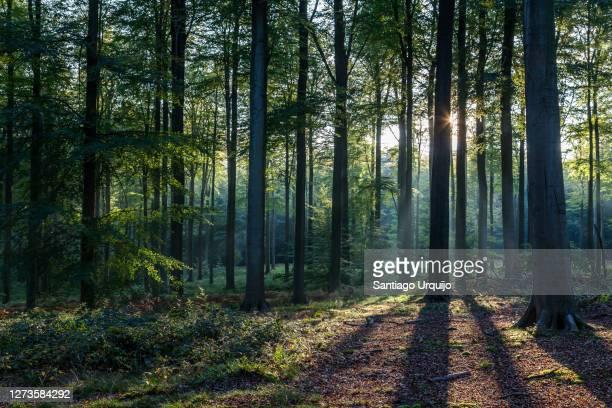 back-lit beech forest in fall - wald stock-fotos und bilder