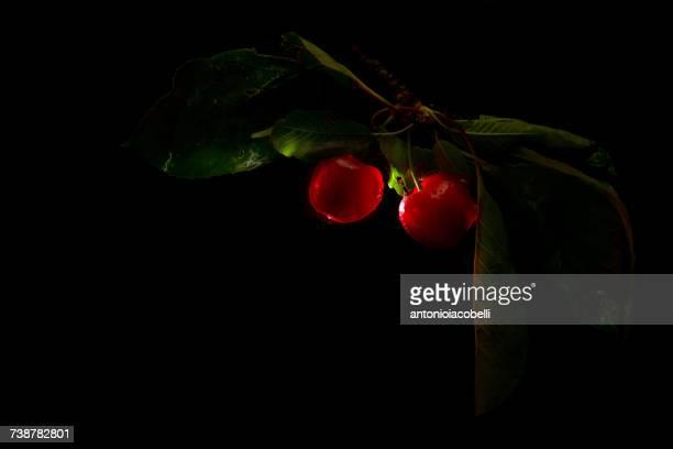 Backlit cherries growing on branch