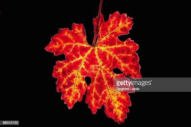 backlit colorful vine leaf  - cabernet sauvignon grape stock photos and pictures