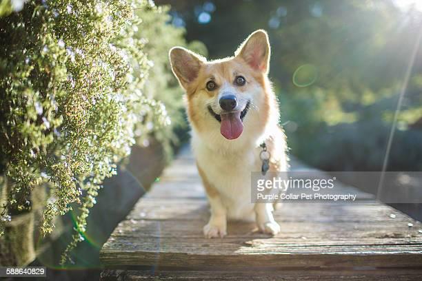backlit corgi dog looking happy outdoors - pembroke welsh corgi stock pictures, royalty-free photos & images