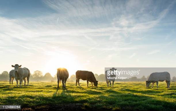 backlit cows in field, early morning, netherlands - dageraad stockfoto's en -beelden