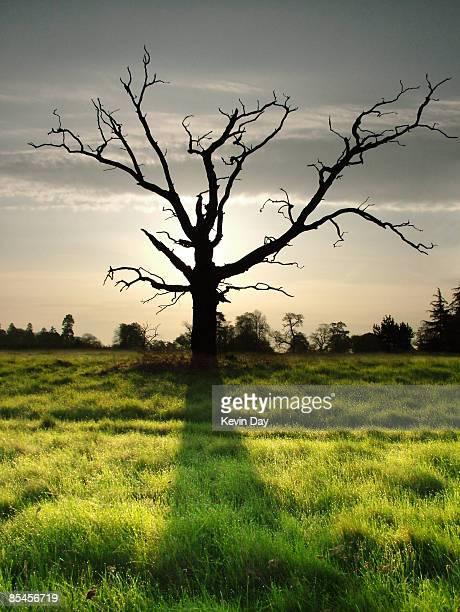 Backlit Dead tree at dawn