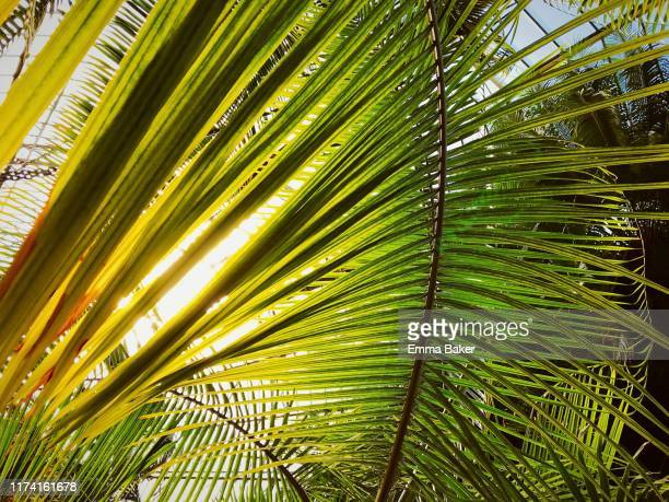 backlit feather palm - emma baker stock pictures, royalty-free photos & images