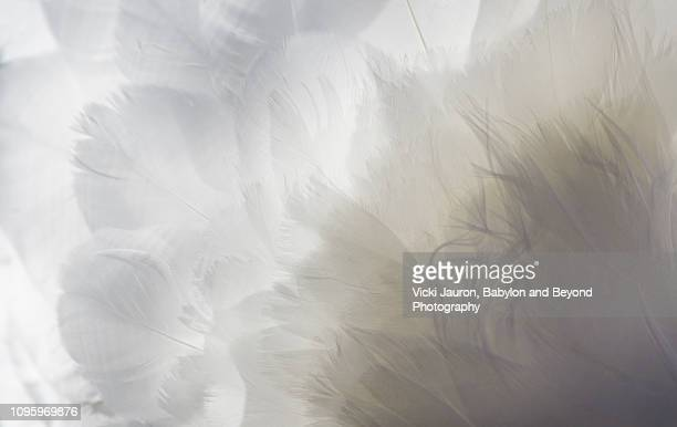 backlit feathers and textures of a mute swan in massapequa - フリンジ ストックフォトと画像