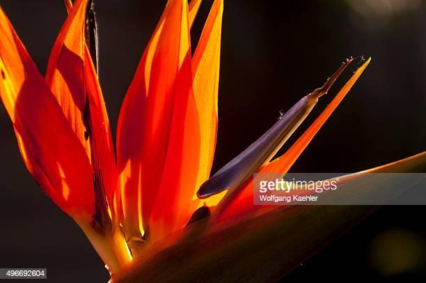 A backlit flower of a BirdofParadise on the island of Tenerife Canary Island Spain