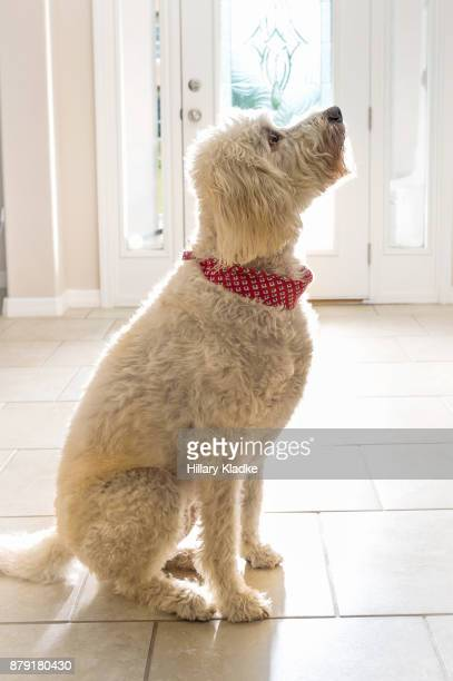 backlit goldendoodle inside home - goldendoodle stock-fotos und bilder