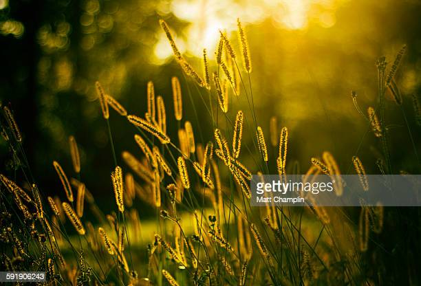 Backlit growing grains at sunset