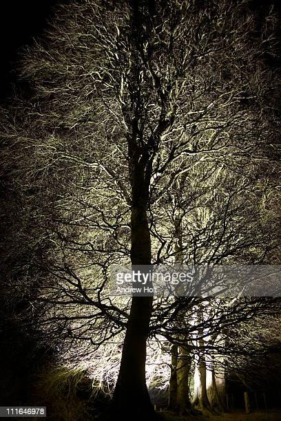 Backlit illuminated beech trees at night