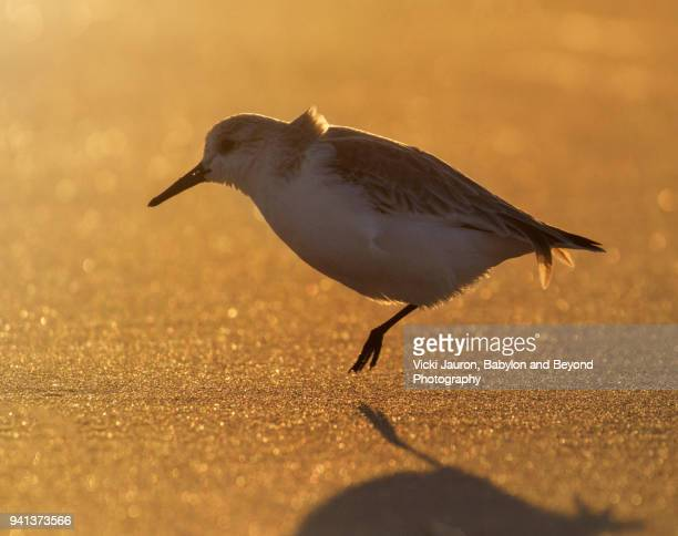 backlit little bird in golden light on one leg at jones beach - wantagh stock pictures, royalty-free photos & images
