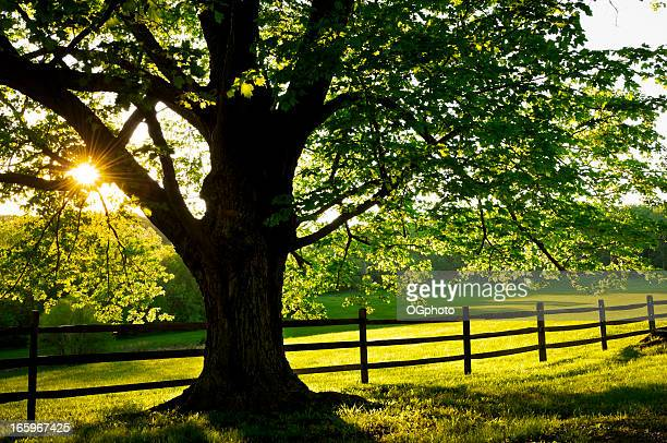 backlit maple tree - ogphoto stock photos and pictures