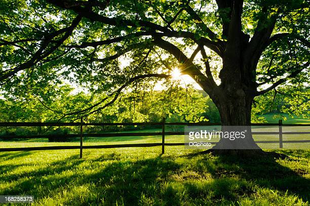 backlit maple tree - ogphoto stock pictures, royalty-free photos & images