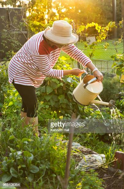 backlit model watering vegetable beds in community garden - older woman bending over stock pictures, royalty-free photos & images
