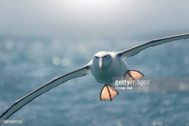 backlit northern royal albatross (diomedea sanfordi) flying with outstretched feet - albatross stock pictures, royalty-free photos & images