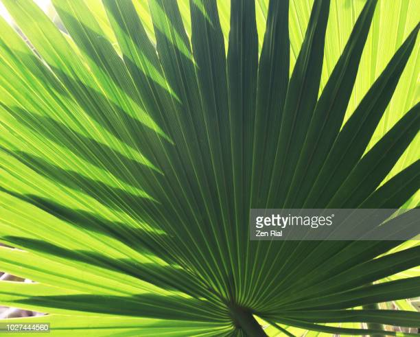 backlit palm leaf superimposed with another leaf creating more complex fanned out patterns - stuart florida stock pictures, royalty-free photos & images