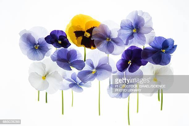 backlit pansies