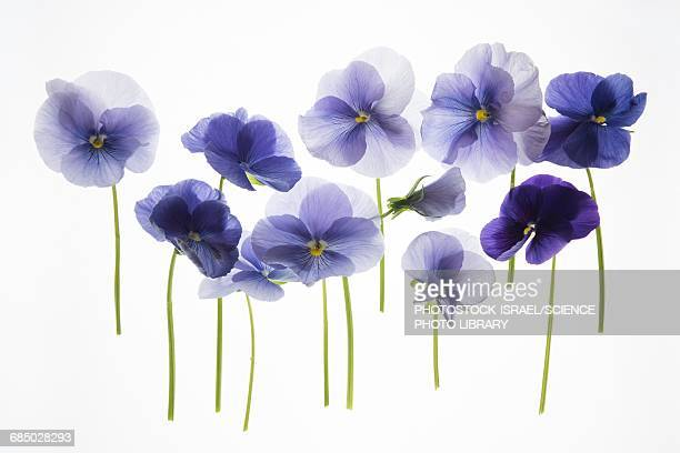 backlit pansies - pansy stock pictures, royalty-free photos & images
