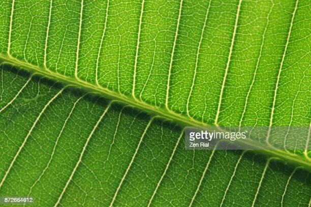 Backlit Plumeria leaf