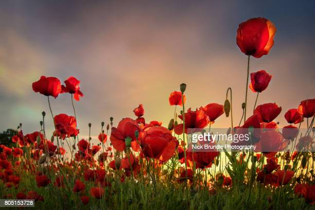 Backlit Poppies