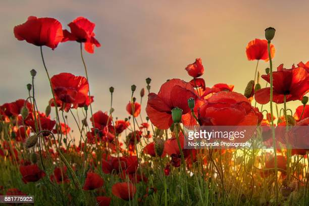 backlit poppies - poppy stock pictures, royalty-free photos & images