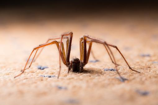 Backlit shot of a large House Spider. 487274242