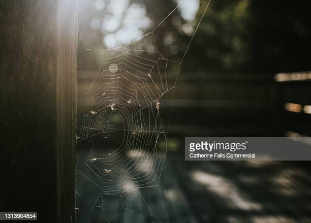 backlit spider's web full of flies - animal teeth stock pictures, royalty-free photos & images