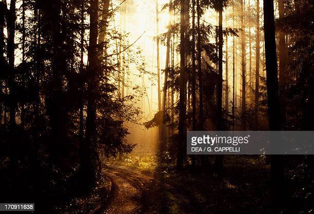 Backlit trees in Bialowieza Forest National Park , Poland.