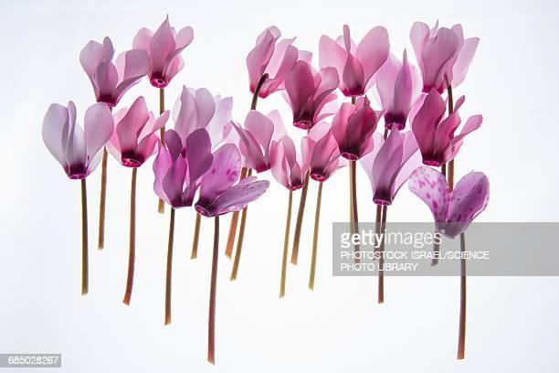 Backlit violet