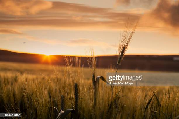 Backlit wheat in a field in the province of Jaen.  Andalusia.  Spain