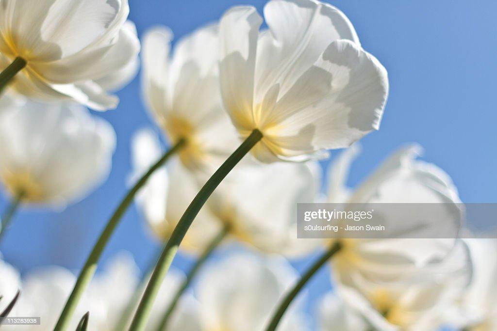 Backlit white tulips : Stock Photo