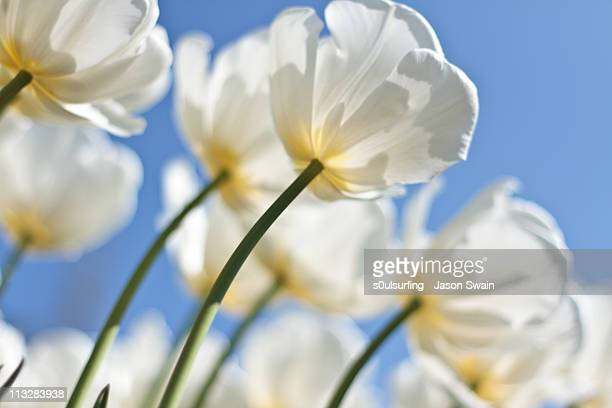backlit white tulips - s0ulsurfing stock pictures, royalty-free photos & images