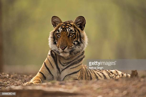 backlit wild tiger - ranthambore national park stock pictures, royalty-free photos & images