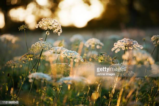 backlit wildflowers - meadow stock pictures, royalty-free photos & images