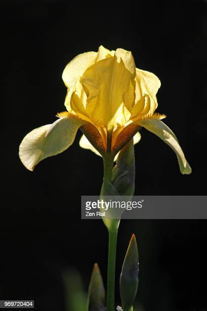 backlit yellow bearded iris flower against black background - bearded iris stock photos and pictures