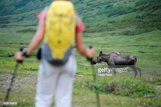 backpacker encounters a moose while hiking in chugach state park near anchorage, alaska. - grupo mediano de animales imagens e fotografias de stock