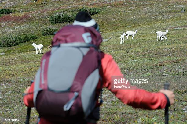 Backpacker watches Dall Sheep in Chugach State Park near Anchorage, Alaska.