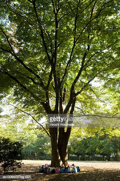 Backpacks at base of Camphor laurel tree (Cinnamomum camphora)
