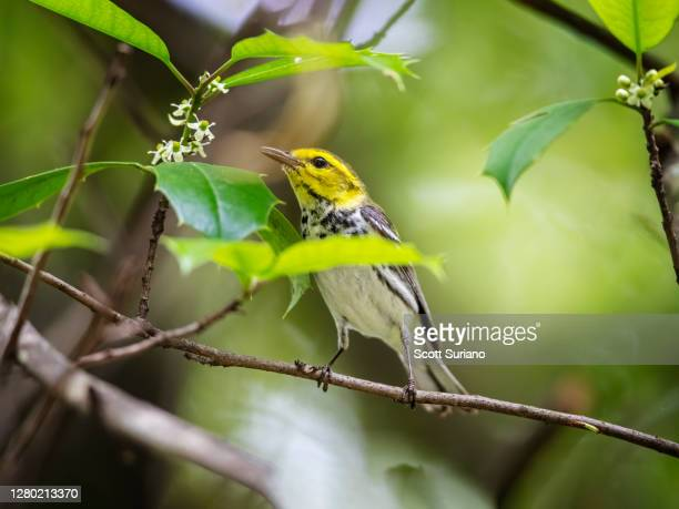backyard visitor - songbird stock pictures, royalty-free photos & images