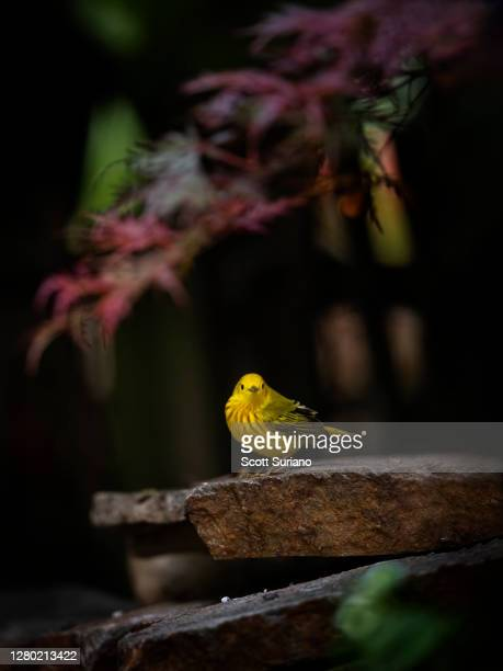 backyard visitor - warbler stock pictures, royalty-free photos & images