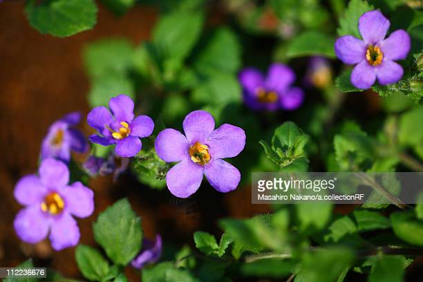 bacopa flowers - chofu stock pictures, royalty-free photos & images