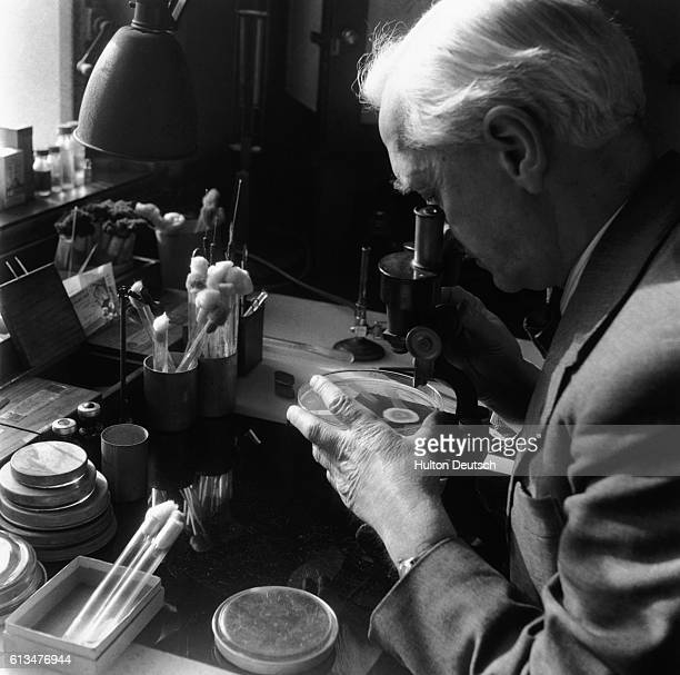 Bacteriologist Sir Alexander Fleming looks at a petri dish under a microscope in his laboratory at the WrightFleming Institute