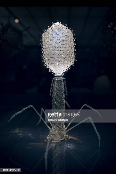 A 'T4 bacteriophage' can be seen in the 'Glass Viruses' case in the newly conceived theme room 'Living and Dying' in the permanent exhibition 'Human...