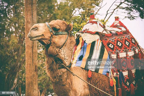 bactrian camel against trees - jericho stock photos and pictures