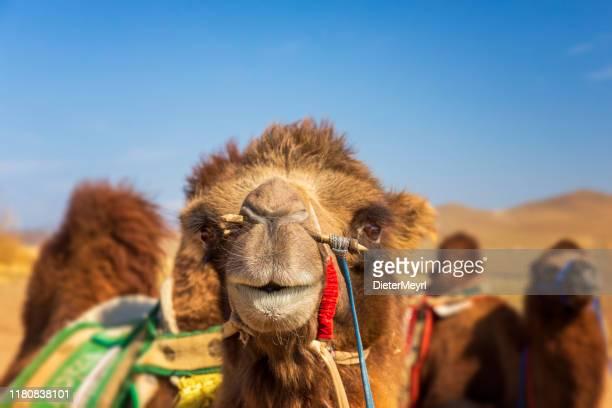バクトリアラクダ、ゴビ砂漠、モンゴル - キャメル色 ストックフォトと画像