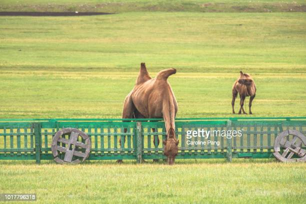Bactrian Camel grazing onto this side of the fence.
